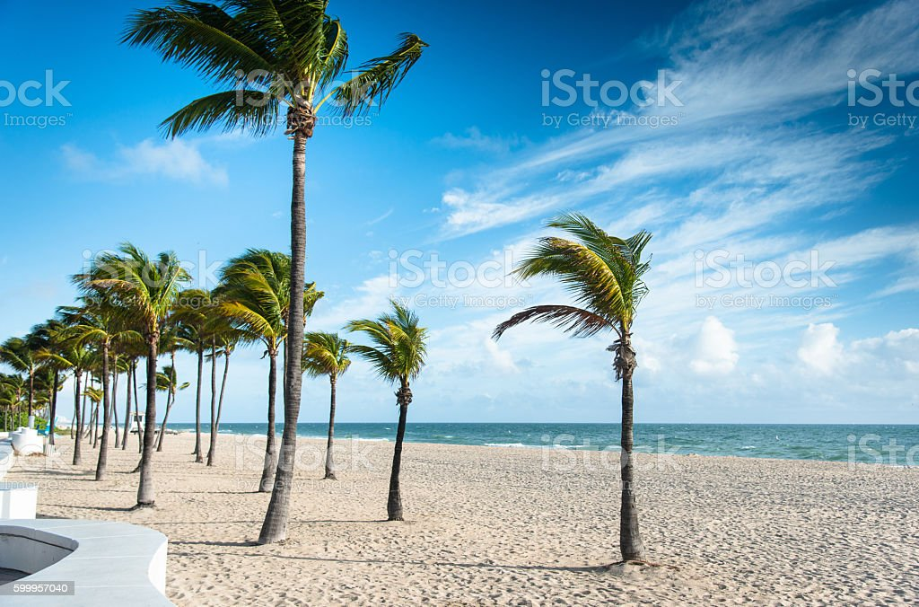 palm tree in miami fort lauderdale stock photo