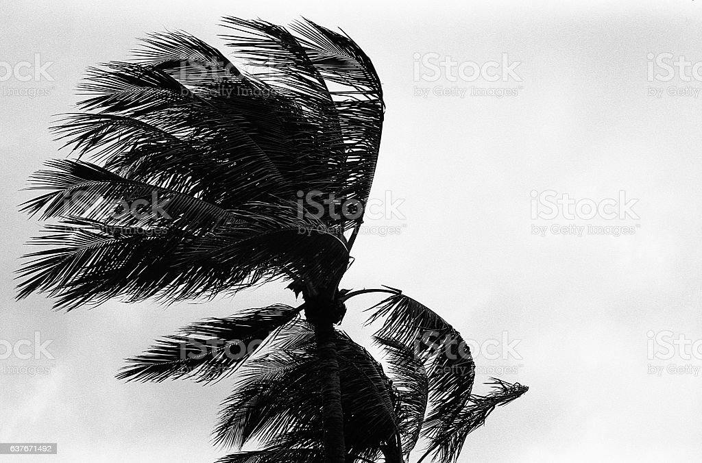 Palm Tree in the Breeze stock photo