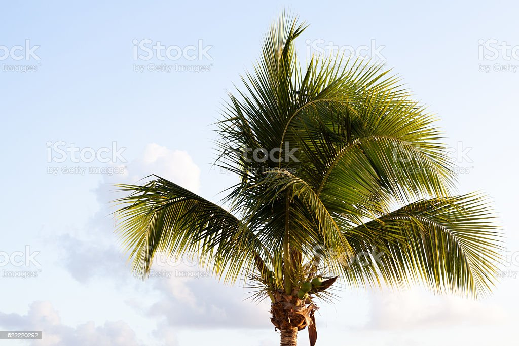 Palm tree in the early morning sunlight stock photo