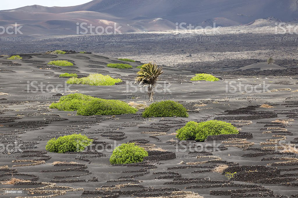 palm tree in volcanic wineyard area La Geria royalty-free stock photo