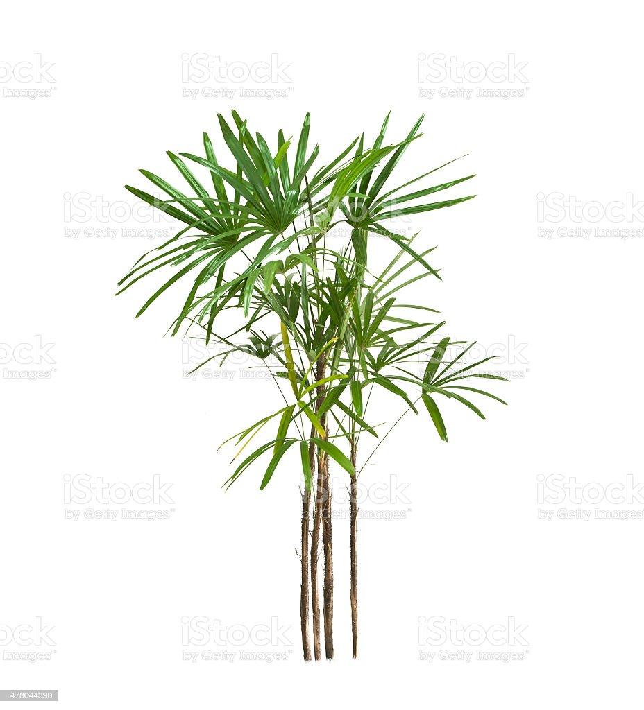 Palm tree aislar en blanco foto de stock libre de derechos