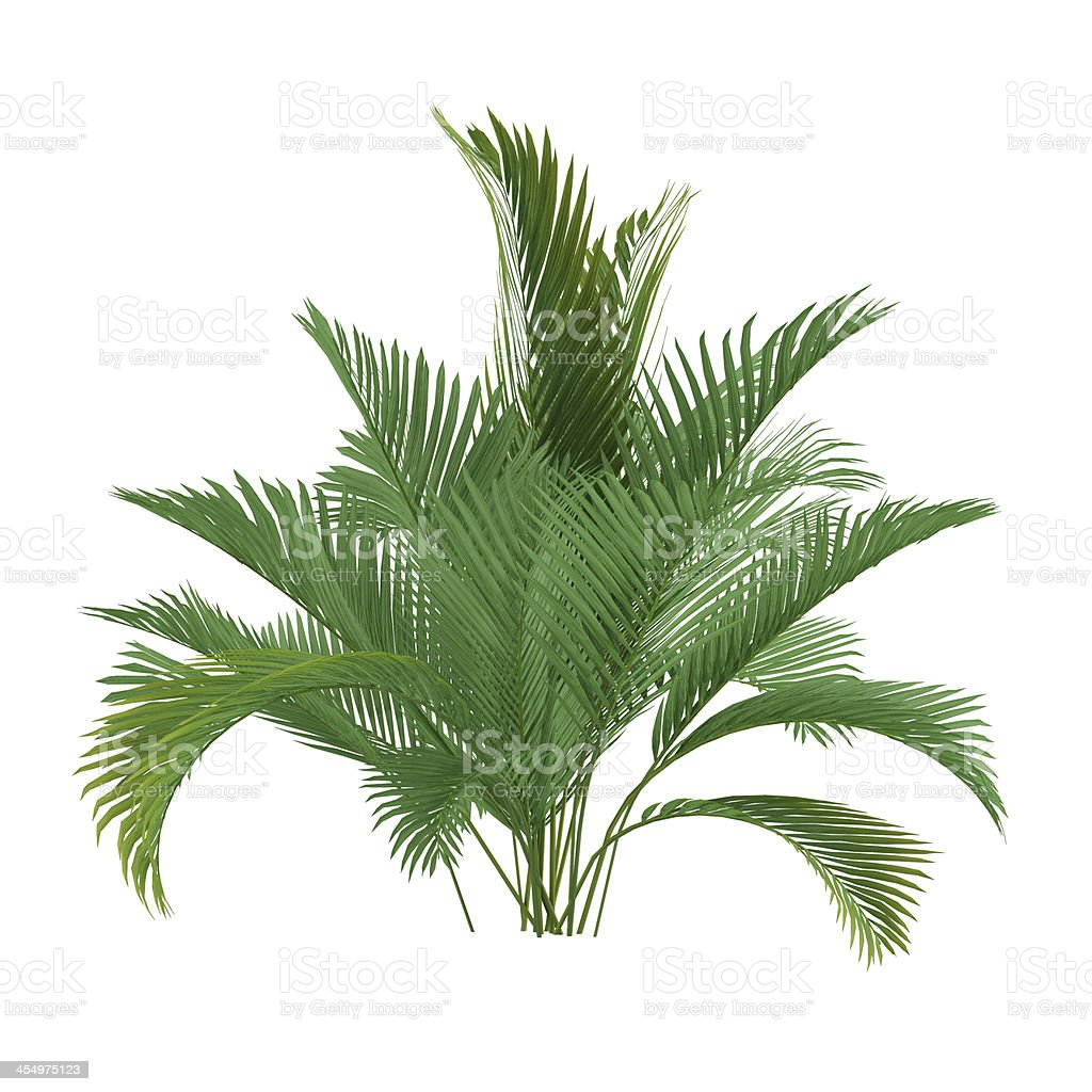 Palm tree isolated. Chamaedorea cataractum stock photo