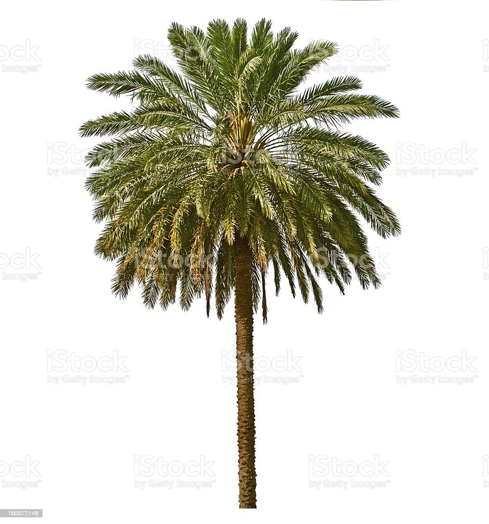Palm tree isolated on white background royalty-free stock photo
