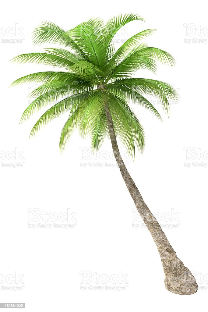Palm tree isolated on white background royalty-free stock photo