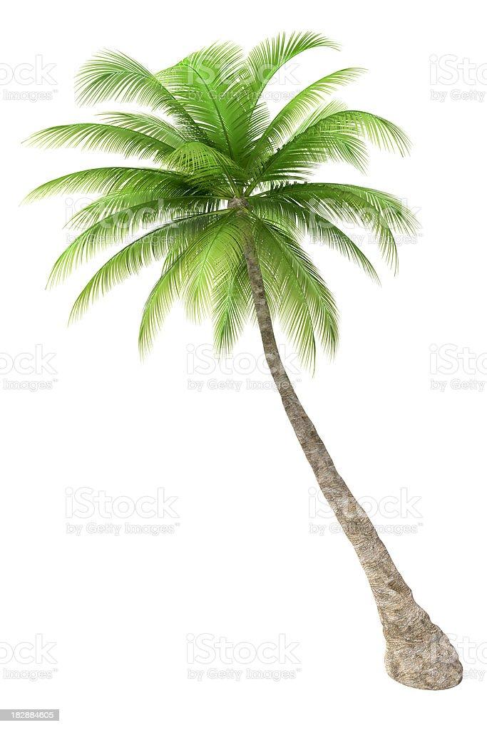 Palm tree isolated on white background stock photo