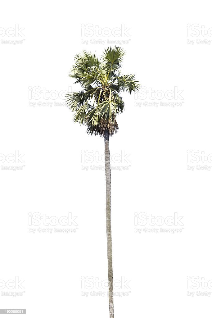 Palm tree isolated on white royalty-free stock photo
