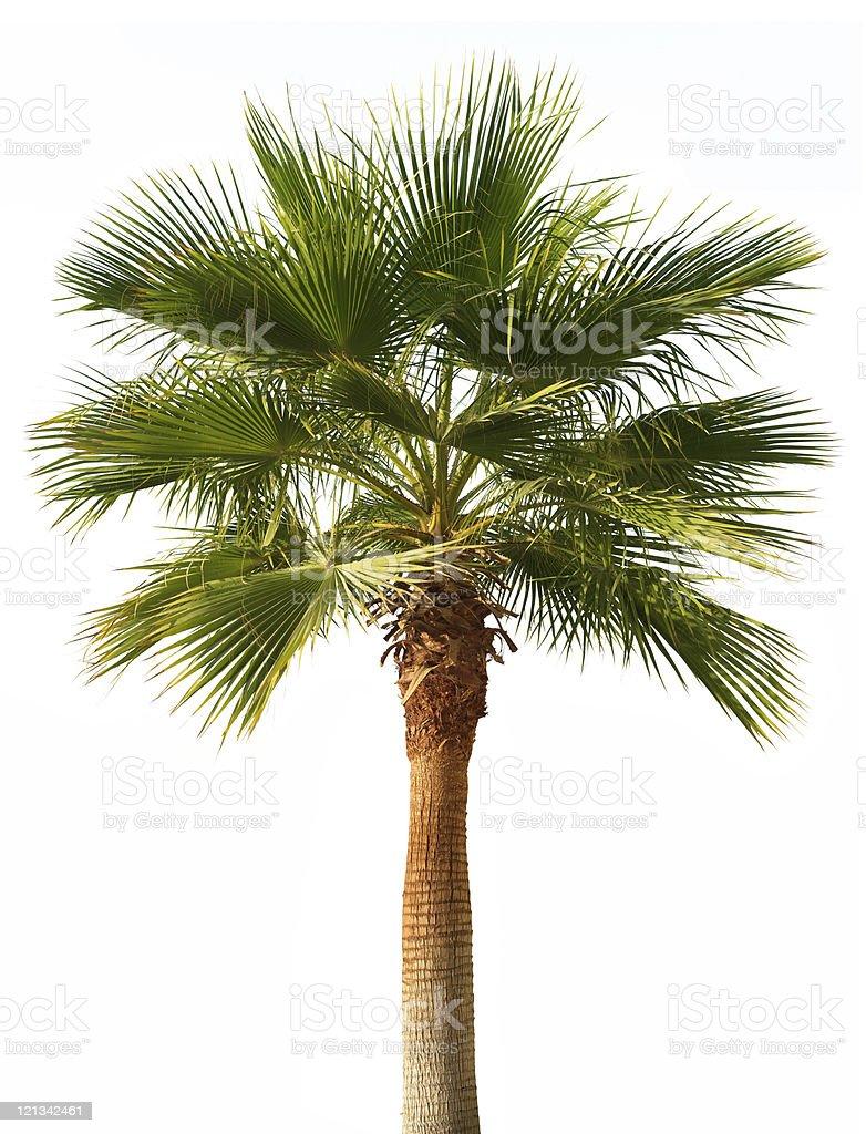 Palm tree isolated stock photo