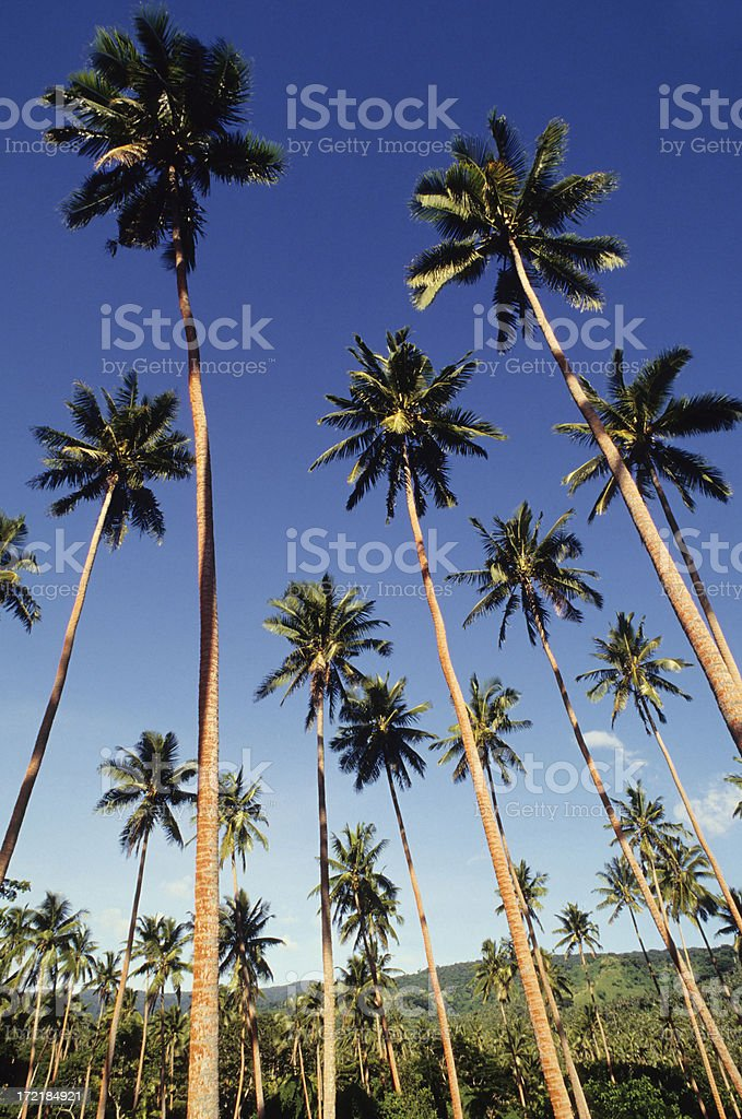 Palm tree Jungle royalty-free stock photo