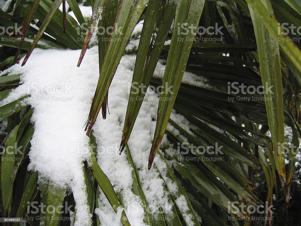 Palm Tree Leaf with Snow 3 stock photo