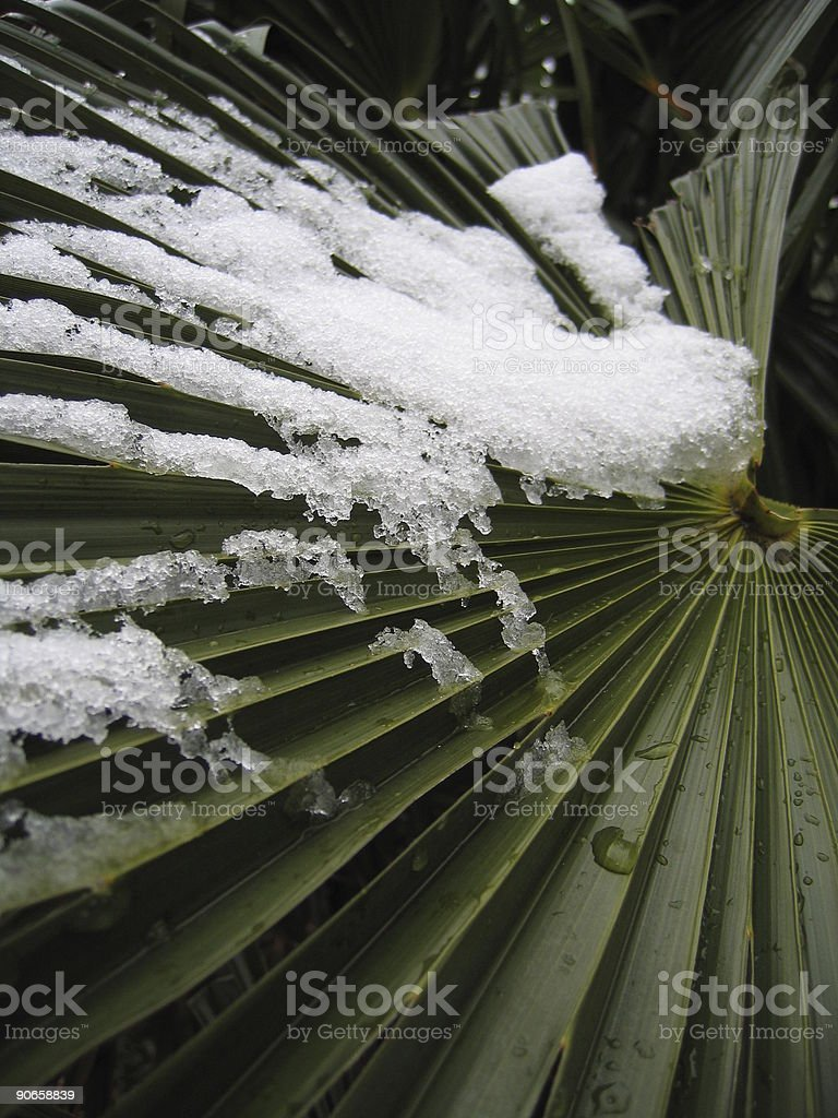 Palm Tree Leaf With Snow stock photo