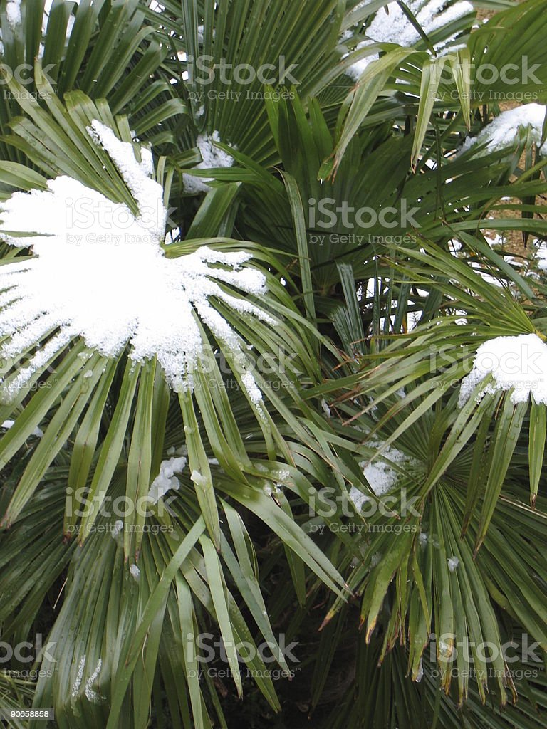 Palm Tree Leaf With Snow royalty-free stock photo