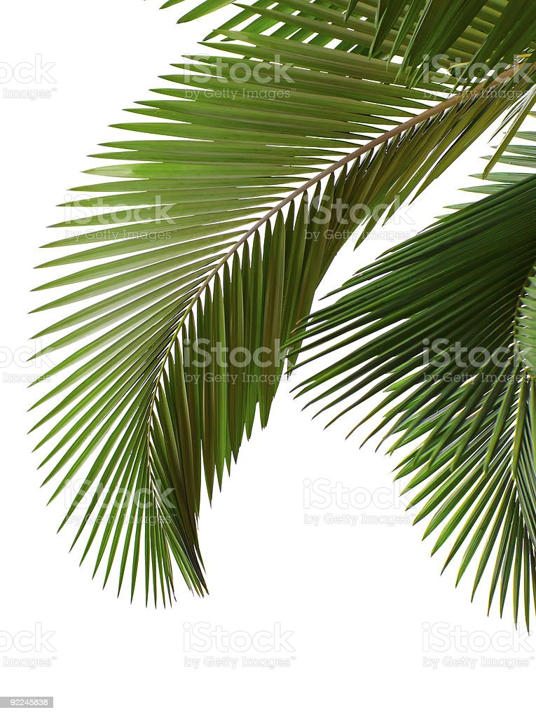 Palm tree leaves on a white background royalty-free stock photo