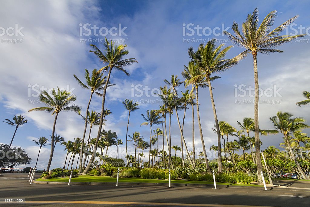 Palm tree, Oahu North Shore, Hawaii royalty-free stock photo