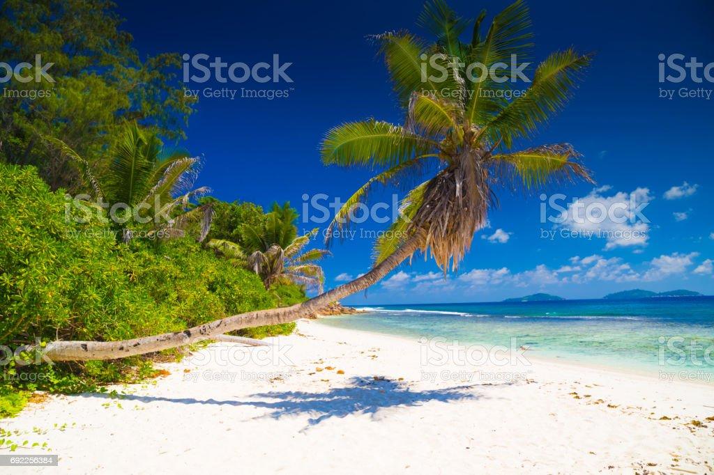 Palm tree of Seychelles stock photo