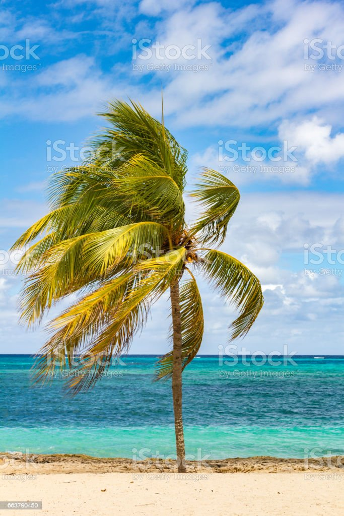 Palm tree on a Cuban beach with blue sky and turquoise water stock photo