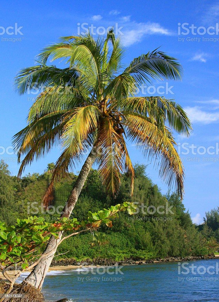 Palm tree on Hawaii coast royalty-free stock photo