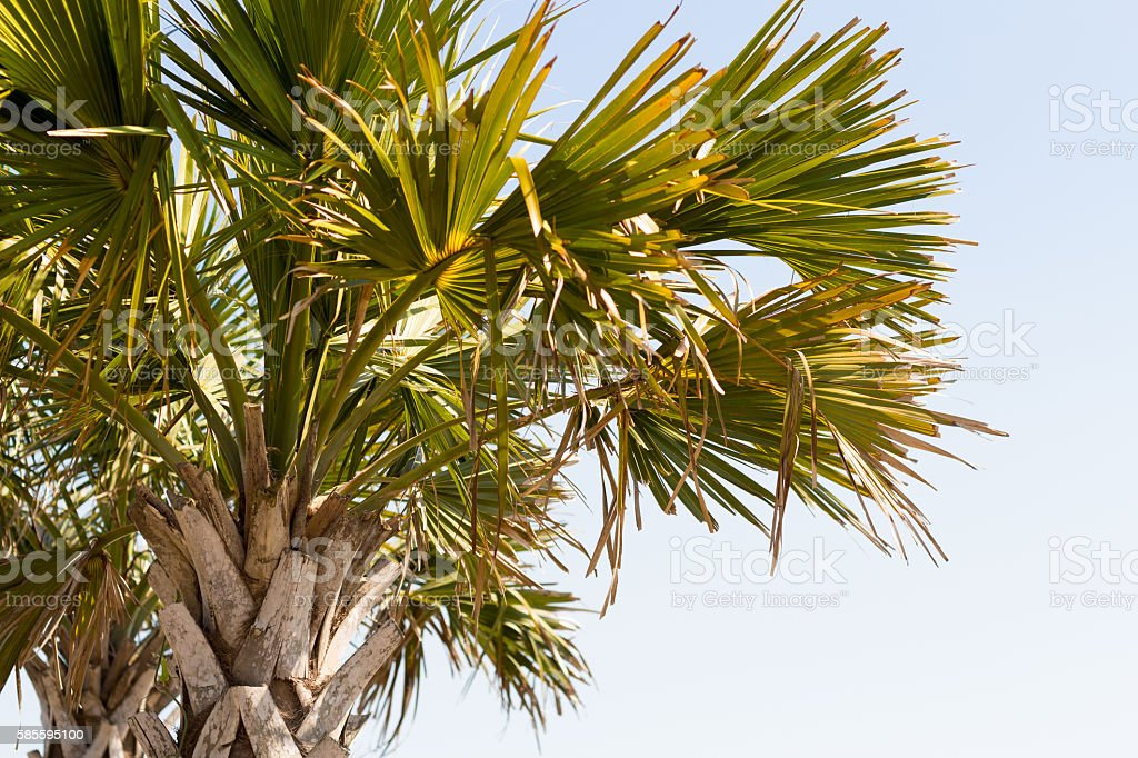 Palm Tree on Myrtle Beach East Coastline  Abstract stock photo