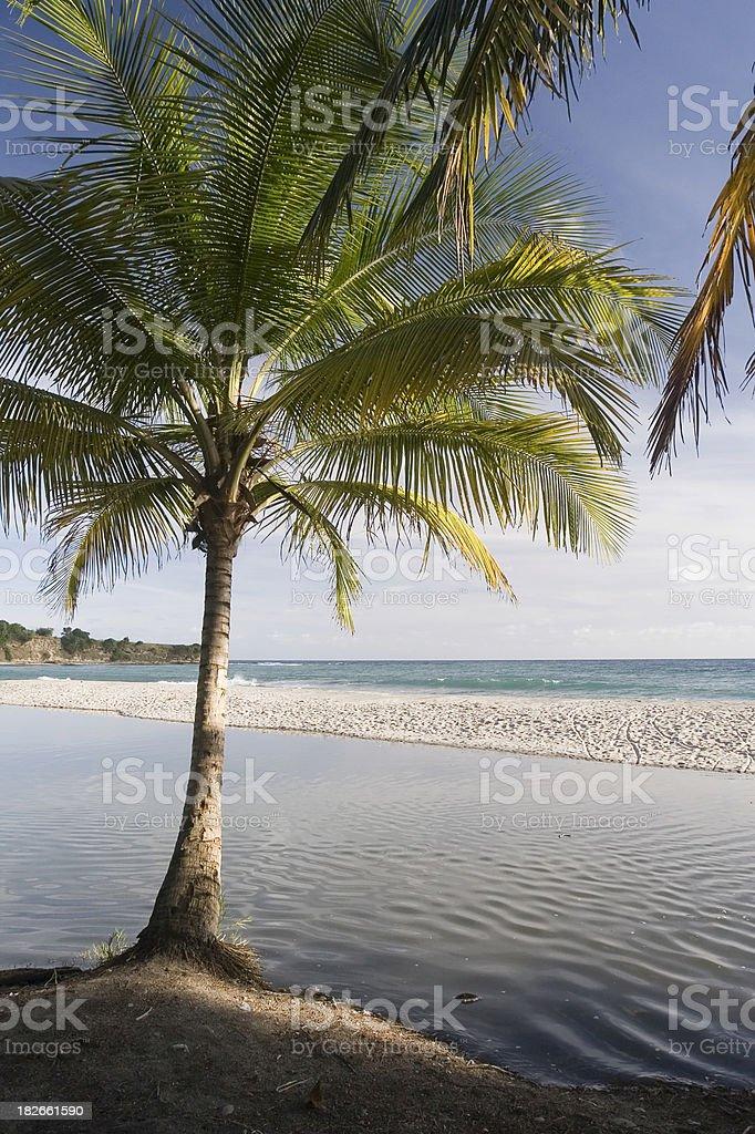 Palm Tree on Saint Lucia stock photo