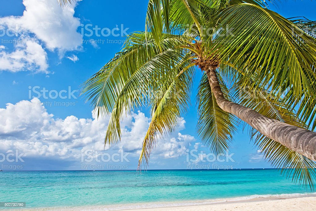 Palm Tree on Seven Mile Beach. stock photo