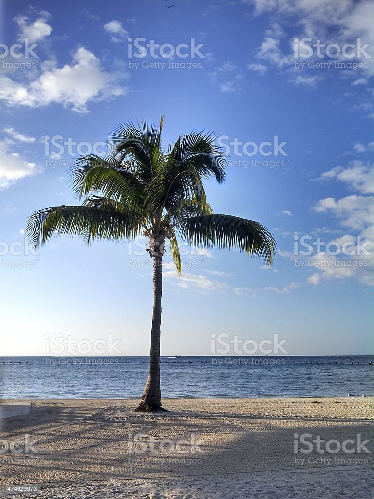 Palm Tree on Smathers Beach in Key West Florida royalty-free stock photo