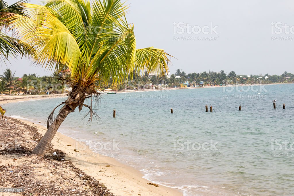 Palm tree on the beach in Placencia, Belize stock photo