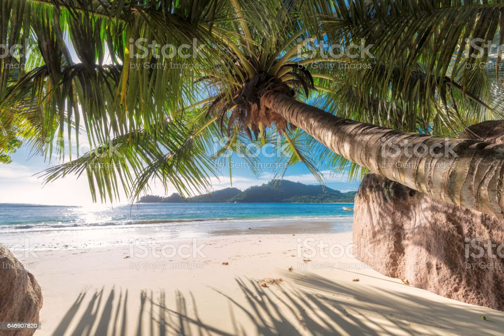 Palm tree on tropical beach. stock photo