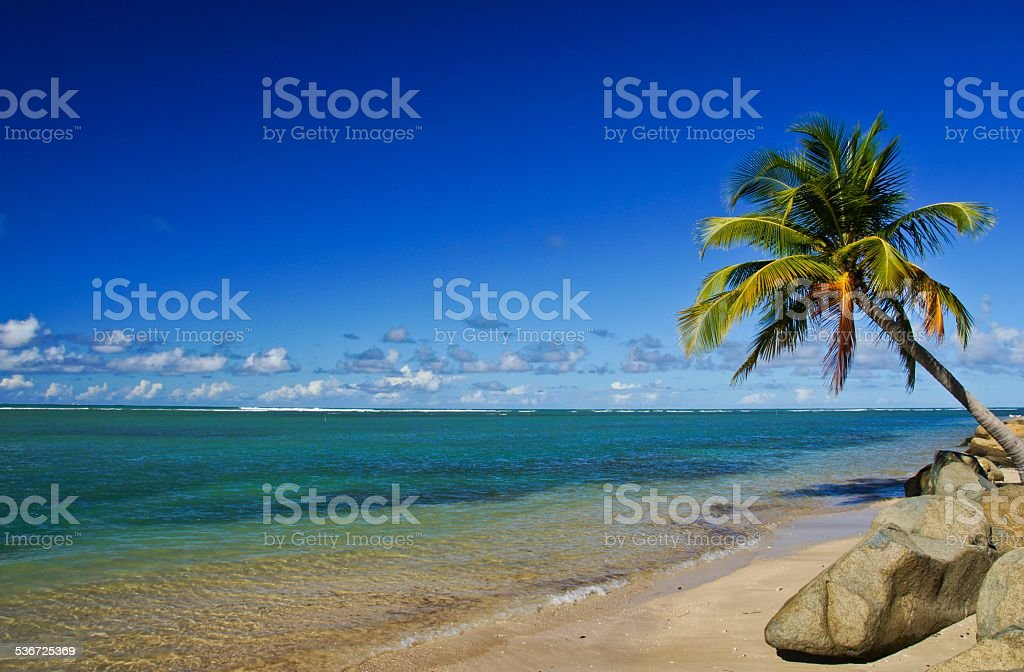 Palm Tree Over the Caribbean in Puerto Rico stock photo