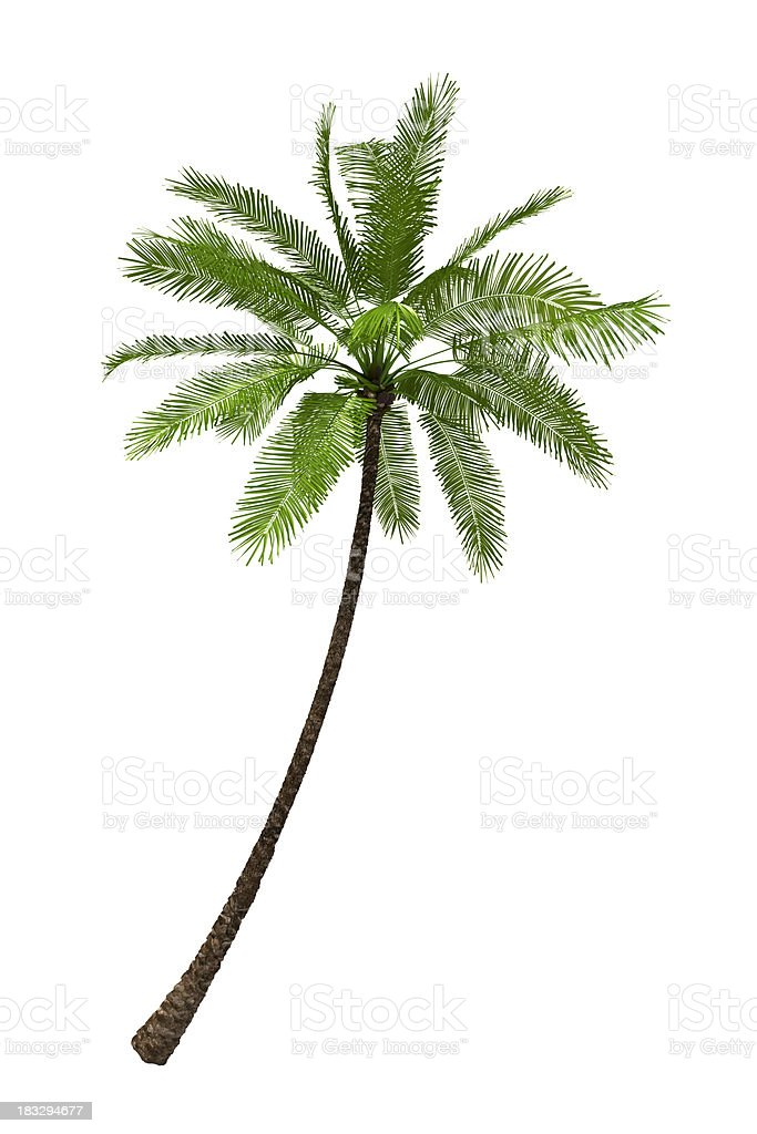 Palm Tree Render Isolated on Pure White Background (XXXL) royalty-free stock photo