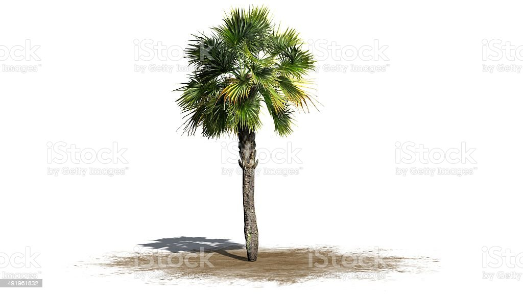 palm tree - separated on white background stock photo