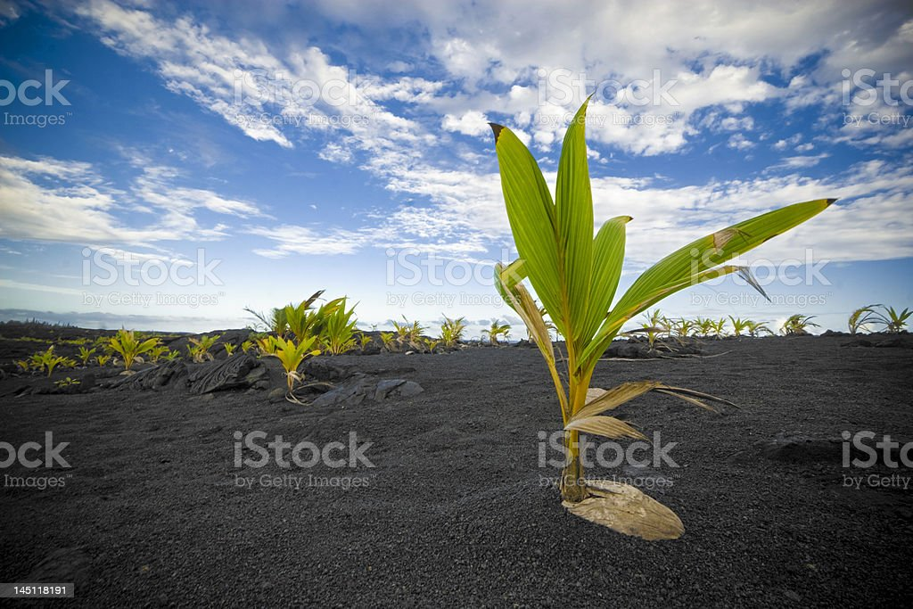 Palm Tree Sprouting out of Coconut stock photo