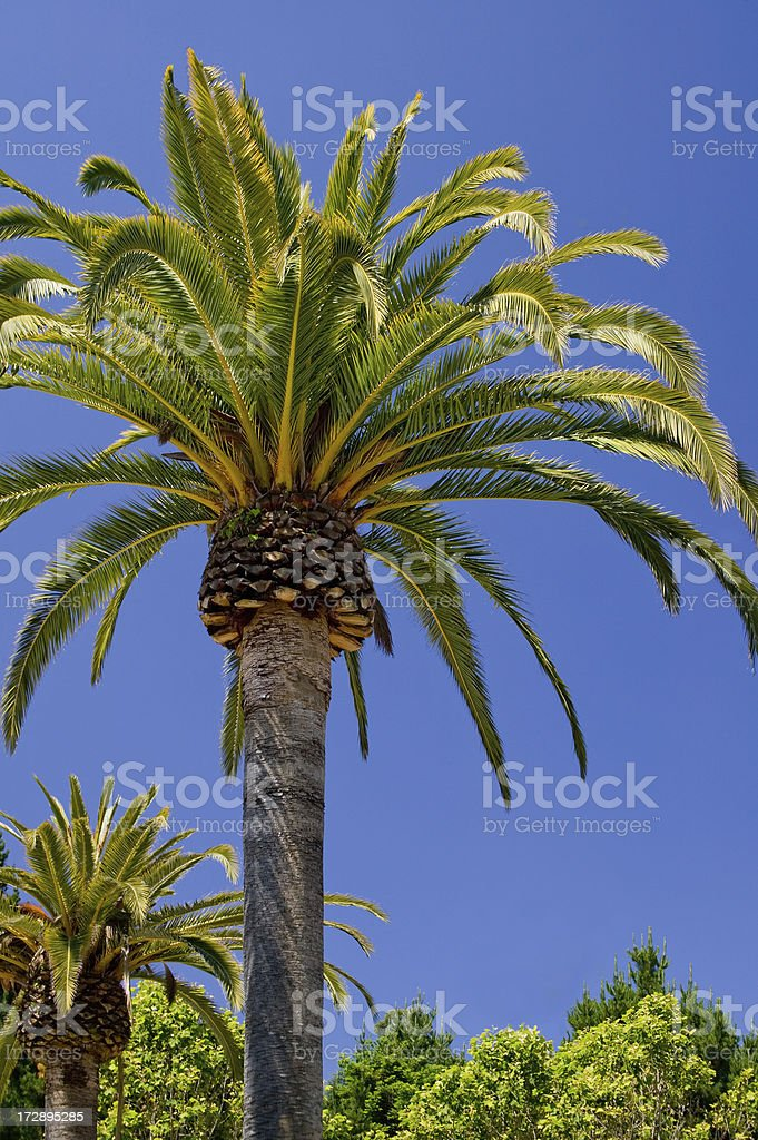 Palm tree under clear blue sky with copy space royalty-free stock photo