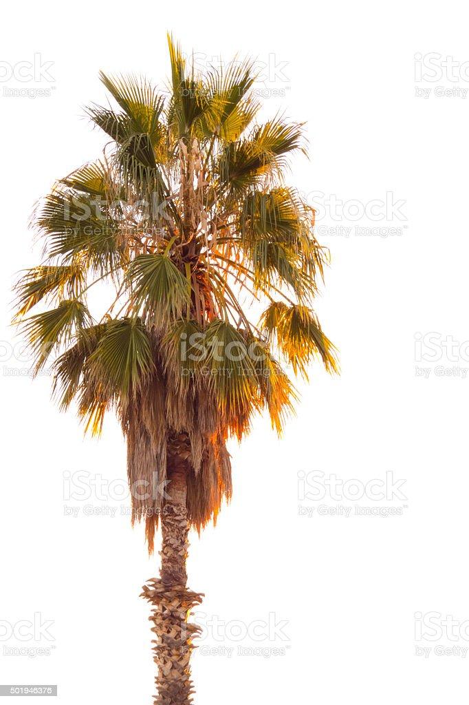 Palm Tree White Background stock photo