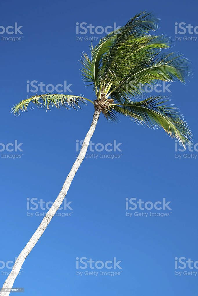 Palm tree with a beautiful azure blue sky in background royalty-free stock photo