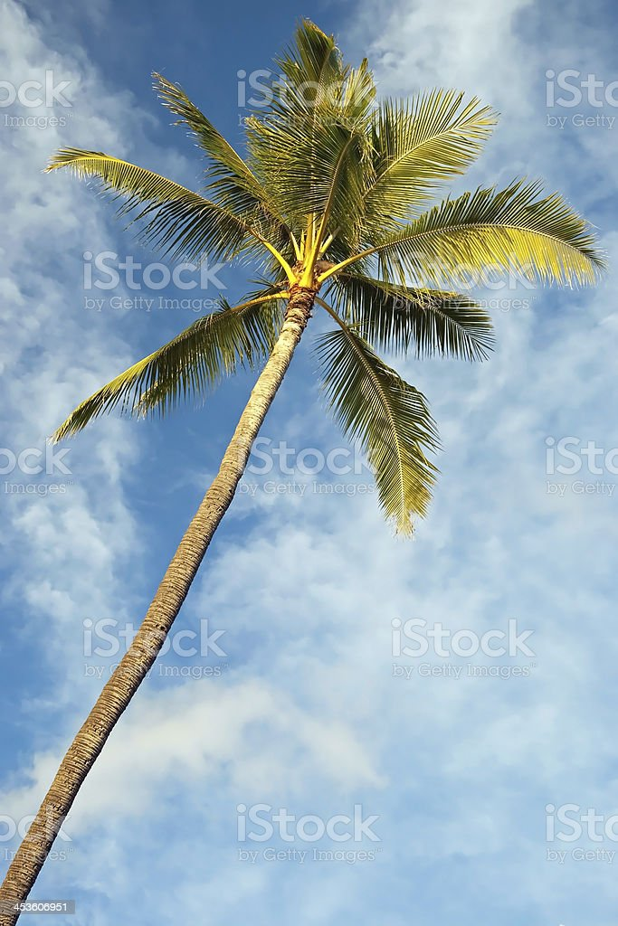 Palm tree with azure blue sky and clouds in background royalty-free stock photo