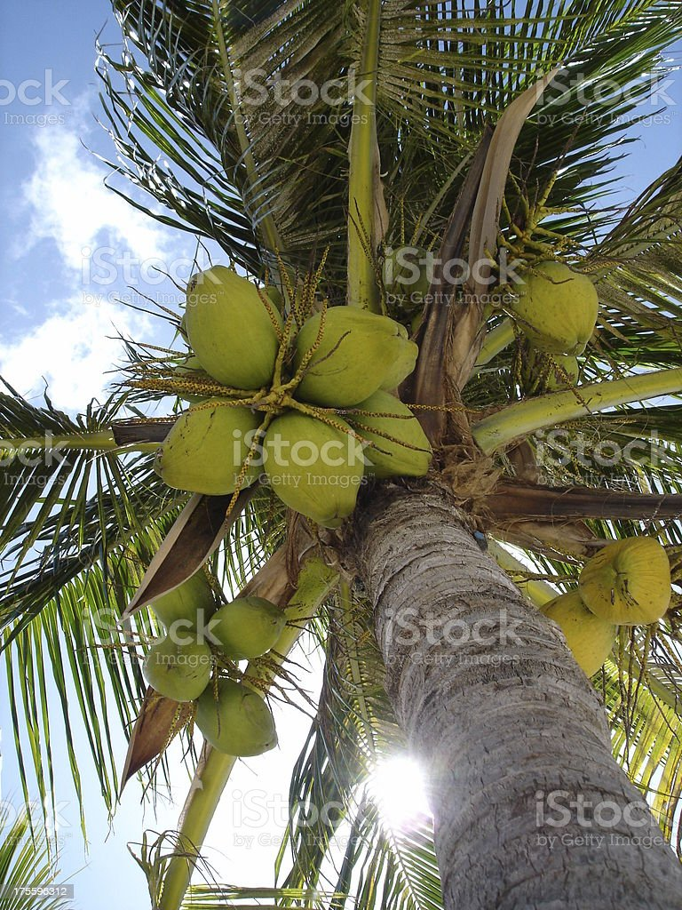 Palm tree with coconuts from below royalty-free stock photo