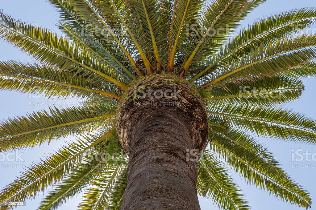 palm tree with trunck and leafs stock photo