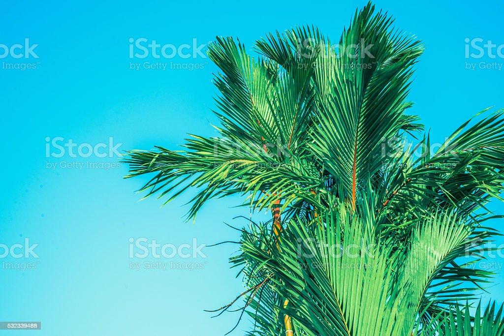 palm tree,Cyrtostachys renda Blume stock photo