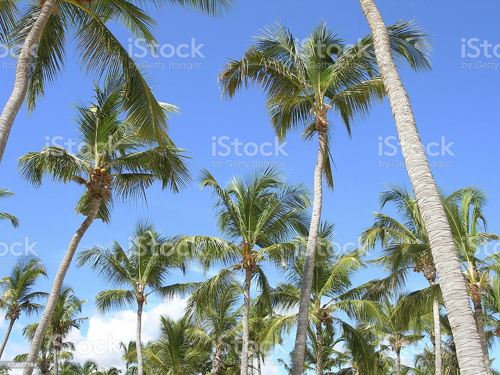 Palm Trees 03 stock photo