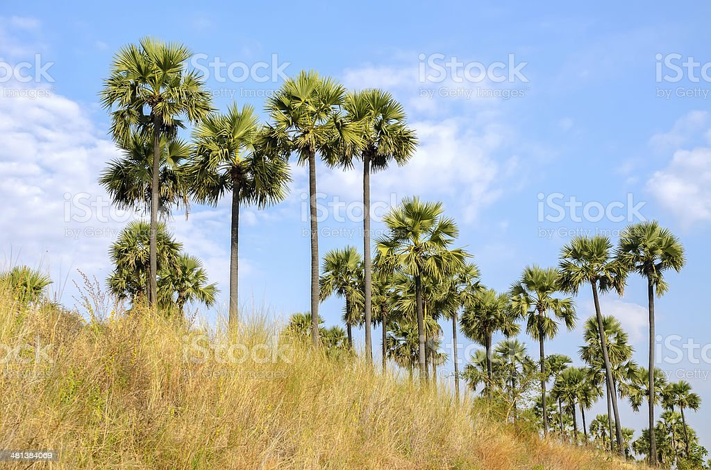 Palm trees against a blue sky stock photo