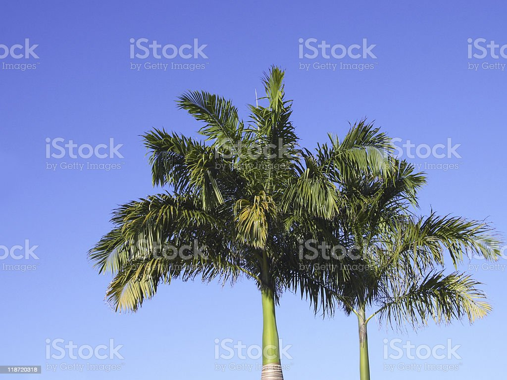 Palm Trees And Blue Skies royalty-free stock photo