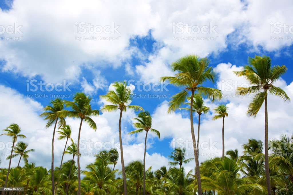 Palm trees and blue sky stock photo