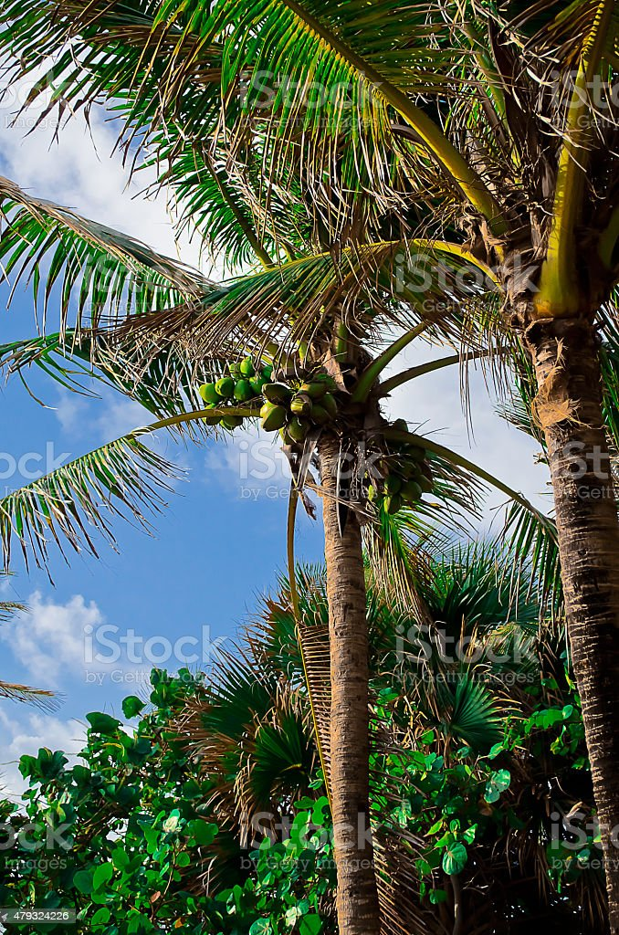 Palm Trees and Blue Sky Up Close stock photo