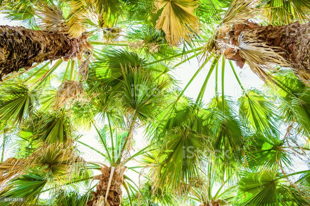 Palm trees and leaves in tropics, natural texture. Palm and sky stock photo