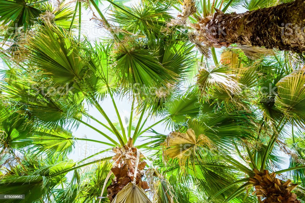 Palm trees and leaves in tropics, tropical texture. Palm and sky stock photo