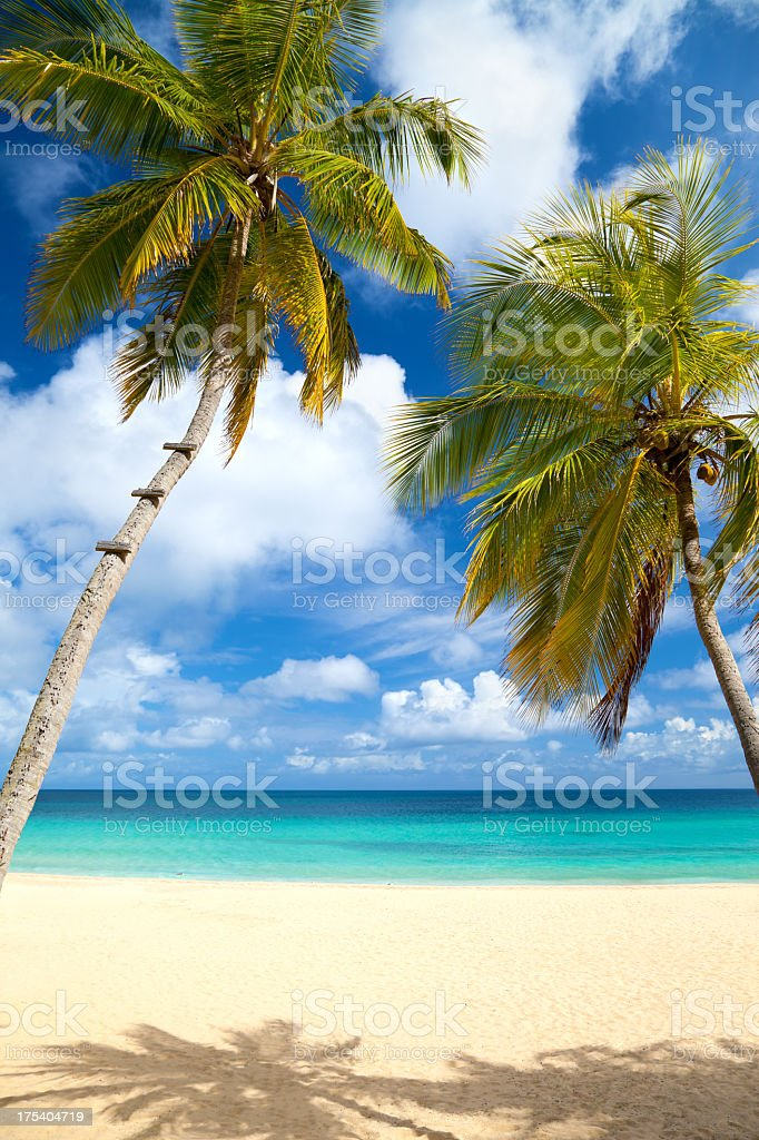 palm trees at a tropical beach in the Caribbean royalty-free stock photo