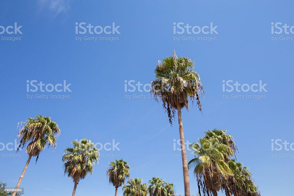 Palm trees at Houston, Texas royalty-free stock photo