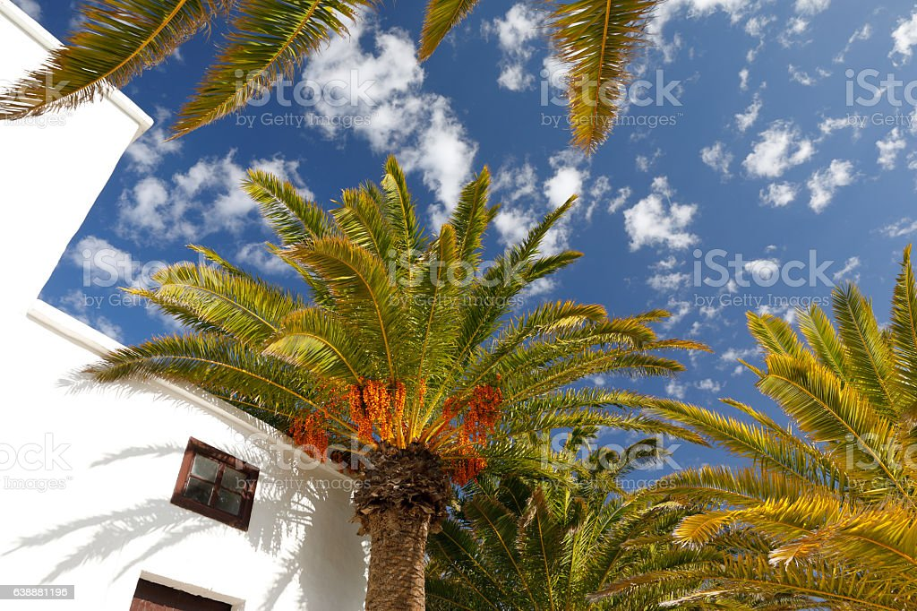 Palm trees at Lanzarote, Spain stock photo
