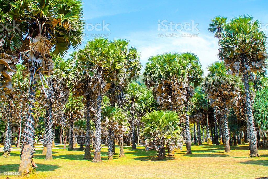 Palmiers au parc National, Koh Lanta, en Thaïlande photo libre de droits