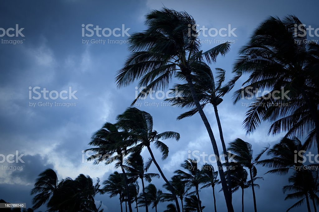 Palm trees blowing in a tropical storm stock photo
