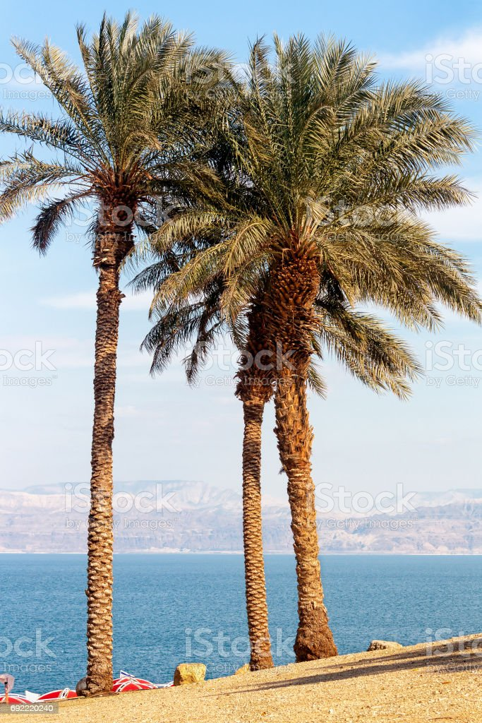 Palm Trees by The Dead Sea - The Holy Land stock photo